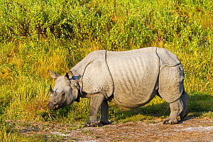 Indian rhinoceros (Rhinoceros unicornis) Kaziranga National Park, India.  -  Sylvain Cordier