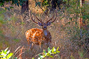 Chital deerl (Axis axis ), male with large antlers, Bandhavgarh National Park, Bandhavgarh, India. - Sylvain Cordier
