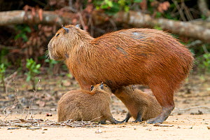 Capybara (Hydrochaeris hydrochaeris) female with two young suckling,  Pantanal, Mato Grosso, Brazil. - Sylvain Cordier
