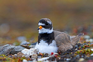 Ringed plover (Charadrius hiaticula) on the nest Svalbard, Norway.  -  Sylvain Cordier