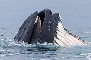Humpback whale (Megaptera novaeangliae) feeding at the surface, showing expandable throat grooves, Svalbard, Norway.  -  Sylvain Cordier
