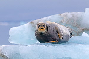 Bearded seal (Erignathus barbatus) hauled out on the ice, Svalbard, Norway. - Sylvain Cordier