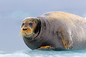 Bearded seal (Erignathus barbatus) hauled out on ice, Svalbard, Norway.  -  Sylvain Cordier
