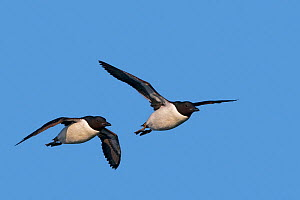 Brunnich's Guillemot (Uria lomvia) two in flight, Svalbard, Norway.  -  Sylvain Cordier