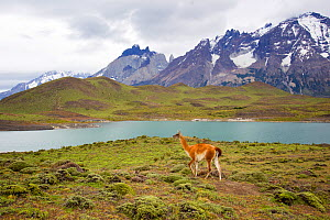 Guanaco (Lama guanicoe) with lake and mountain background, Torres del Paine National Park, Patagonia, Chile. - Sylvain Cordier