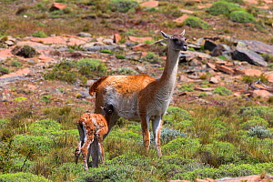 Guanaco (Lama guanicoe), adult female with calf suckling Torres del Paine National Park, Patagonia, Chile. - Sylvain Cordier