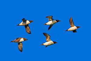 Brunnich's guillemot (Uria lomvia) five birds in flight Svalbard, Norway.  -  Sylvain Cordier