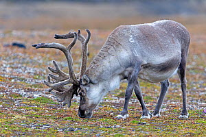 Reindeer (Rangifer tarandus), grazing in the tundra Svalbard, Norway. - Sylvain Cordier