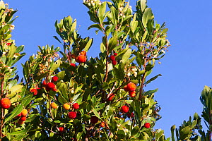 Strawberry tree (Arbutus unedo) Maritime Alpes, France. - Sylvain Cordier