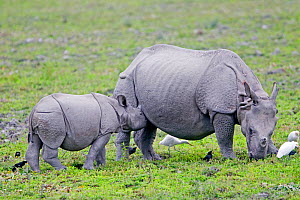 Indian rhinoceros ( Rhinoceros unicornis), adult female and baby, Kaziranga National Park, Assam, India.  -  Sylvain Cordier