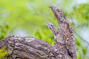 Great potoo (Nyctibius grandis) female with young resting on a branch, Pantanal, Mato Grosso, Brazil.  -  Sylvain Cordier