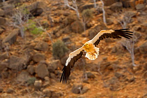 Egyptian vulture (Neophron percnopterus), in flight, Socotra Island, UNESCO World Heritage Site, Yemen  -  Sylvain Cordier