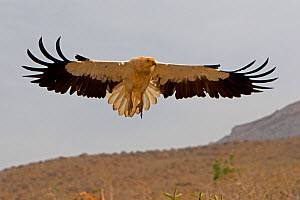 Egyptian vulture  (Neophron percnopterus), in flight Socotra Island, UNESCO World Heritage Site, Yemen  -  Sylvain Cordier