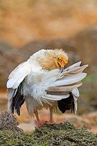 Egyptian vulture  (Neophron percnopterus) preening,  Socotra Island, UNESCO World Heritage Site, Yemen  -  Sylvain Cordier