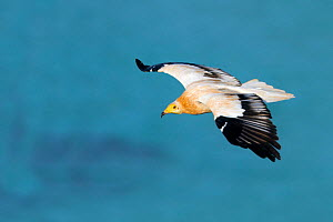Yemen, Aden Governorate, Socotra Island, listed as World Heritage by UNESCO, Egyptian vulture  (Neophron percnopterus), in flight  -  Sylvain Cordier