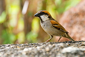 Socotra Sparrow (Passer insularis), on the ground, Socotra Island, UNESCO World Heritage Site, Yemen.  -  Sylvain Cordier