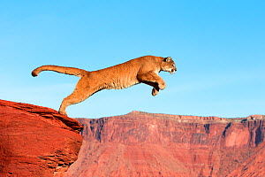 Mountain lion (Puma concolor) jumping, captive. Sequence 1 of 6  -  Sylvain Cordier
