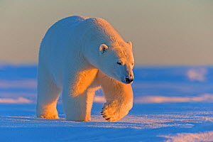 Polar bear (Ursus maritimus), adult male, outside Kaktovik, Alaska, USA.  -  Sylvain Cordier