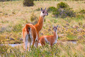 Guanaco (Lama guanicoe), adult female and baby, Torres del Paine National Park, Patagonia, Chile. - Sylvain Cordier