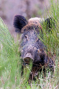 RF - Wild Boar (Sus scrofa), adult male, Haute Saone, France. (This image may be licensed either as rights managed or royalty free.) - Sylvain Cordier