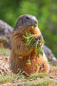 RF - Alpine marmot (Marmota marmota), eating a dandelion, Alpes Hautes Provence, France. (This image may be licensed either as rights managed or royalty free.) - Sylvain Cordier