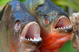 RF -  Red-bellied piranha (Pygocentrus nattereri) and  Redeye Piranha (Serrasalmus rhombeus  formely Serrasalmus niger) out of water. Comparison, with both showing sharp teeth. Rio Negro, Amazonas, Br... - Sylvain Cordier