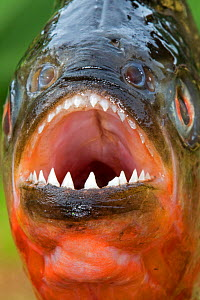 RF -  Red-bellied piranha or red piranha (Pygocentrus nattereri) taken out of water - close up showing sharp teeth. Rio Negro, Amazonas, Brazil. (This image may be licensed either as rights managed or... - Sylvain Cordier