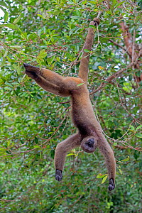 RF - Brown woolly monkey (Lagothrix lagotricha) hanging upside down in tree, Mananaus, Amazon, Brazil. (This image may be licensed either as rights managed or royalty free.) - Sylvain Cordier