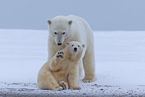 RF - Polar Bear (Ursus maritimus), the female is with cub along a barrier island outside Kaktovik, Alaska, USA, September. (This image may be licensed either as rights managed or royalty free.) - Sylvain Cordier