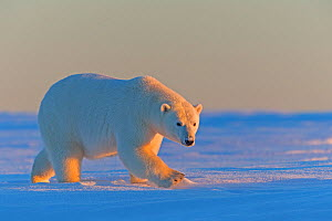 RF - Polar Bear (Ursus maritimus), adult male along a barrier island outside Kaktovik, Alaska, USA. September. (This image may be licensed either as rights managed or royalty free.) - Sylvain Cordier