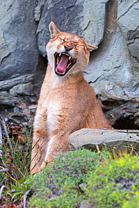 RF -  Cougar (Puma concolor), juvenile aged one year, yawning, Torres del Paine, Patagonia. (This image may be licensed either as rights managed or royalty free.) - Sylvain Cordier