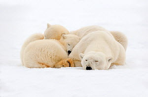 RF - Polar Bear (Ursus maritimus), female resting, with two cubs along a barrier island outside Kaktovik, Alaska, USA. September. (This image may be licensed either as rights managed or royalty free.) - Sylvain Cordier