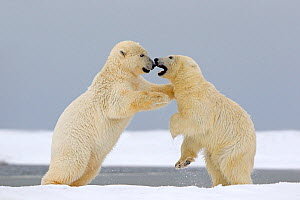 RF - Polar Bear (Ursus maritimus), two juveniles playing-fighting along a barrier island outside Kaktovik, Alaska, USA. September. (This image may be licensed either as rights managed or royalty free....  -  Sylvain Cordier