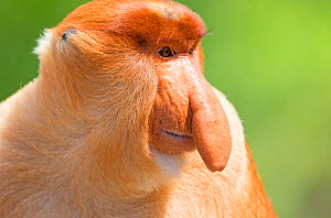 RF - Proboscis monkey or long-nosed monkey (Nasalis larvatus), alpha male, Sabah, Borneo. (This image may be licensed either as rights managed or royalty free.) - Sylvain Cordier