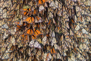 RF - Monarch butterfly (Danaus plexippus),  wintering from November to March, in Oyamel pine forests (Abies religiosa) Monarch Butterfly Biosphere Reserve, Mexico. (This image may be licensed either a... - Sylvain Cordier
