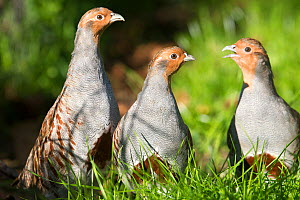 RF - Grey partridge (Perdix perdix) group of three,  Alsace, France. October. (This image may be licensed either as rights managed or royalty free.) - Sylvain Cordier