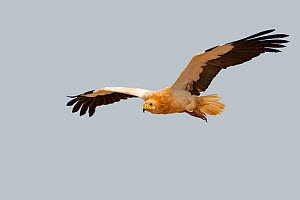 RF - Egyptian vulture  (Neophron percnopterus), in flight. Socotra Island, UNESCO World Heritage Site, Yemen. (This image may be licensed either as rights managed or royalty free.)  -  Sylvain Cordier