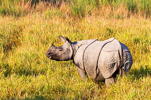 RF - Indian rhinoceros (Rhinoceros unicornis) Kaziranga National Park, Assam, India. (This image may be licensed either as rights managed or royalty free.)  -  Sylvain Cordier
