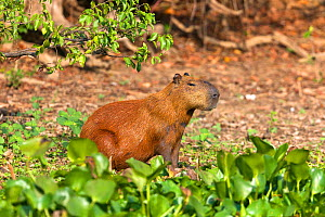 RF - Capybara (Hydrochoerus hydrochaeris ) Pantanal, Mato Grosso, Brazil. (This image may be licensed either as rights managed or royalty free.) - Sylvain Cordier