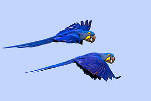 RF - Hyacinth macaw (Anodorhynchus hyacinthinus) two in flight. Pantanal, Mato Grosso, Brazil. (This image may be licensed either as rights managed or royalty free.) - Sylvain Cordier