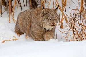 RF - Canadian Lynx (Lynx canadensis) in snow, Montana, USA, Captive. (This image may be licensed either as rights managed or royalty free.) - Sylvain Cordier
