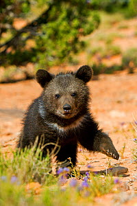 RF - Grizzly bear (Ursus arctos horribilis), baby  young age two and a half months. Utah, USA, Controlled conditions (This image may be licensed either as rights managed or royalty free.) - Sylvain Cordier