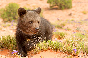 RF - Grizzly bear (Ursus arctos horribilis), baby  young,age 2 and a half months, Utah, USA. Controlled conditions (This image may be licensed either as rights managed or royalty free.) - Sylvain Cordier