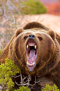 RF - Grizzly bear (Ursus arctos horribilis), roaring, Utah, USA. Captive. (This image may be licensed either as rights managed or royalty free.) - Sylvain Cordier