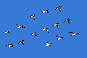 RF - Brunnich's guillemot (Uria lomvia)   group flying in formation, Svalbard, Norway. (This image may be licensed either as rights managed or royalty free.) - Sylvain Cordier