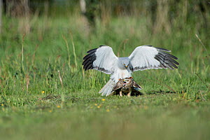 Hen harrier (Circus cyaneus) pair mating, Mayenne, France. May. - Eric  Medard