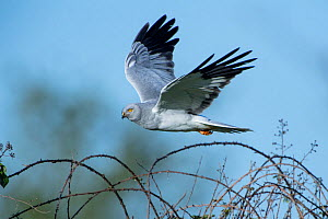 Hen harrier (Circus cyaneus) male in flight, Mayenne, France. May. - Eric  Medard