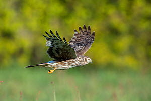 Hen harrier (Circus cyaneus) female in flight, Mayenne, France. May. - Eric  Medard