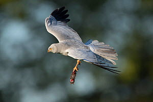 Hen harrier (Circus cyaneus) in flight with prey, Mayenne, France. May. - Eric  Medard