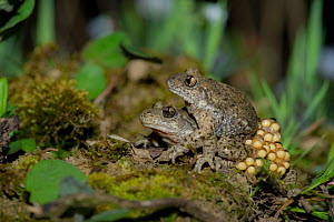 Common midwife toad (Alytes obstetricans) pair mating, with eggs, France. April.  -  Eric  Medard